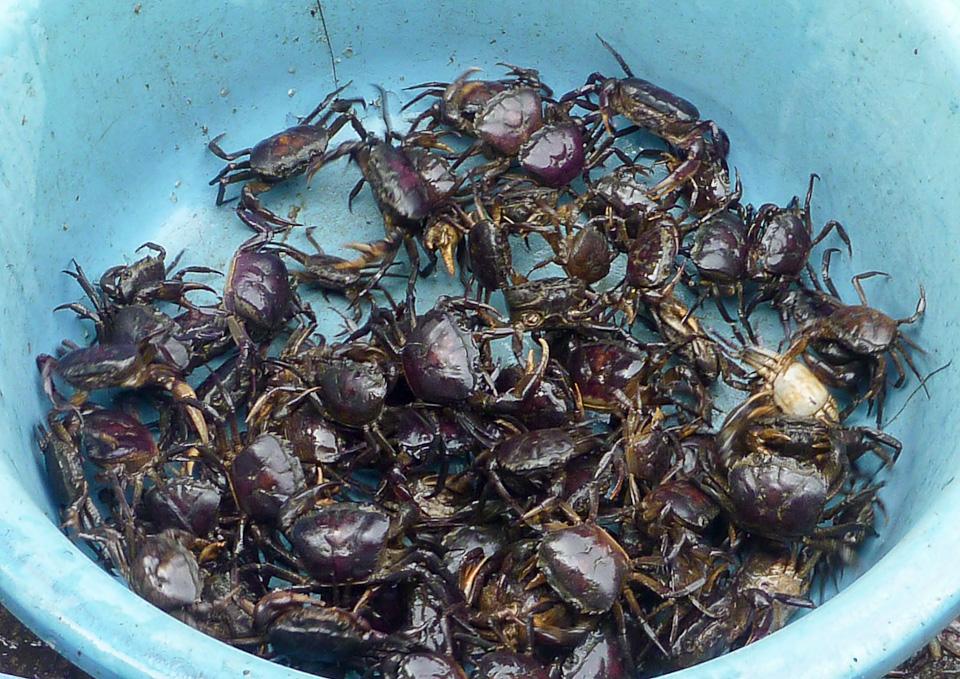 River Crabs- Mekong River, Vietnam