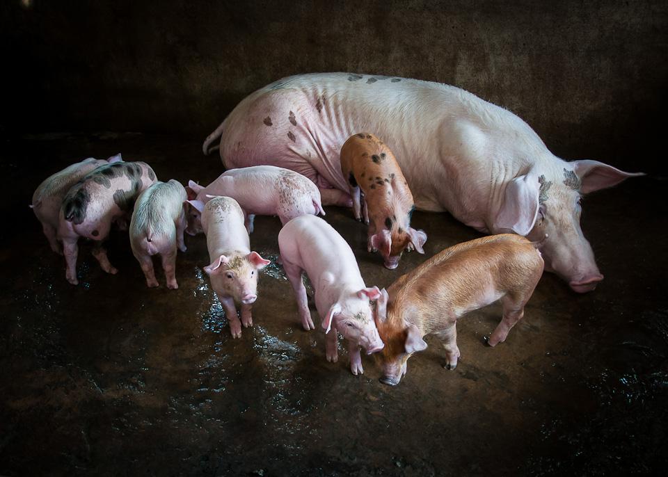 This Little Piggy, Mekong River, Vietnam