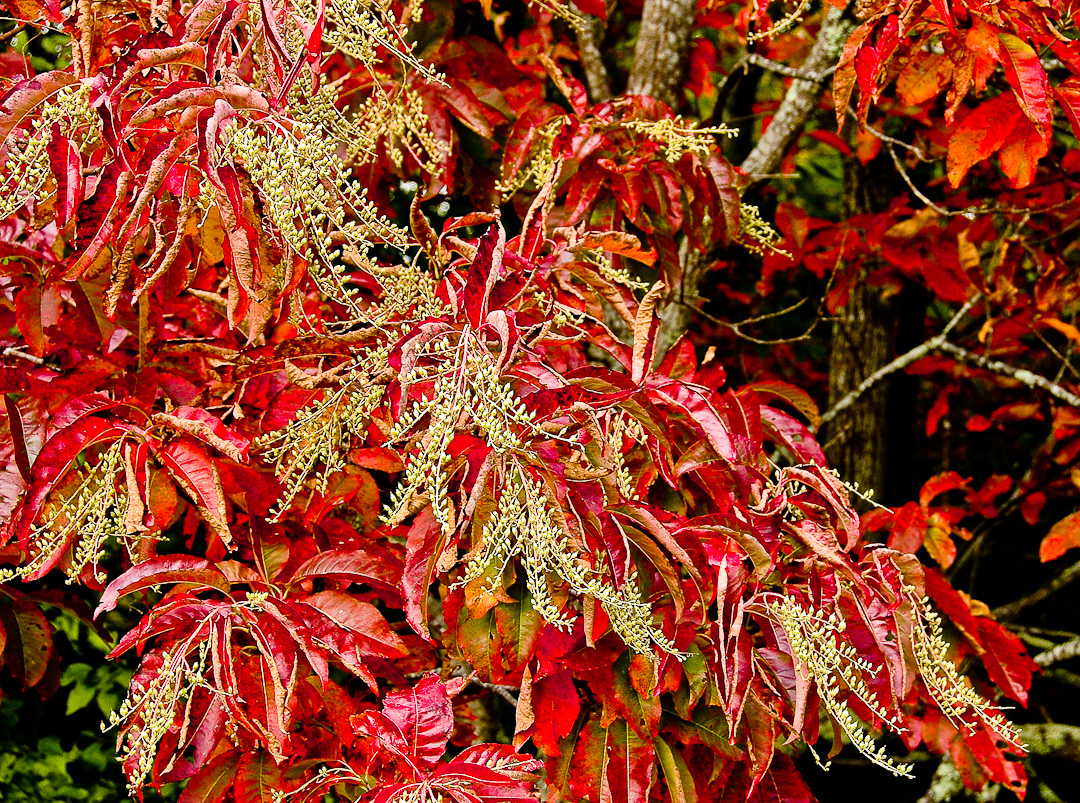 Red Sourwood Leaves, North Carolina