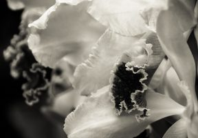 Travel Theme: White – Cattleya Orchid