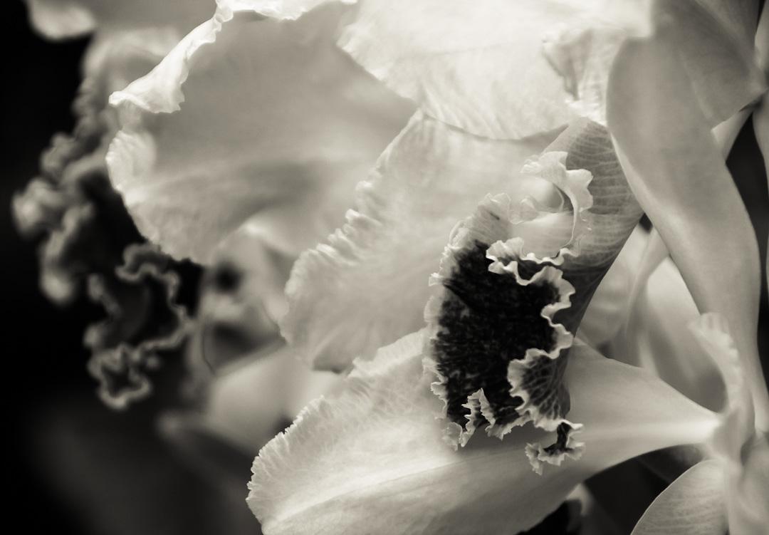Travel Theme: White – Cattleya Orchid