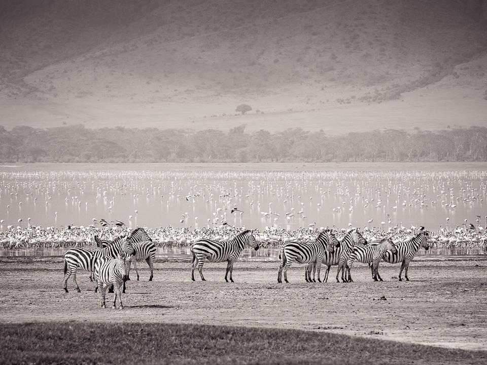 Zebras with Flamingos
