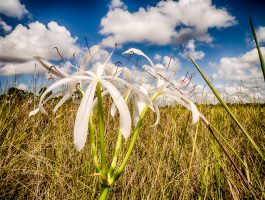 Everglades Swamp Lily in Perspective