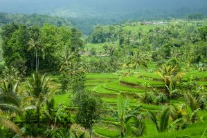 In Bali – Rice is Life