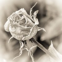 Macro Monday – A Rose and a Variation