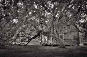 A Mighty Oak Tree, a Tiny Cabin