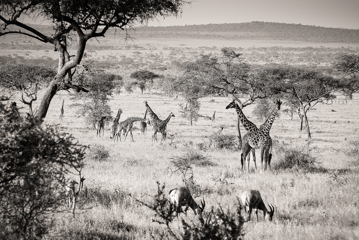 Landscape with Giraffes