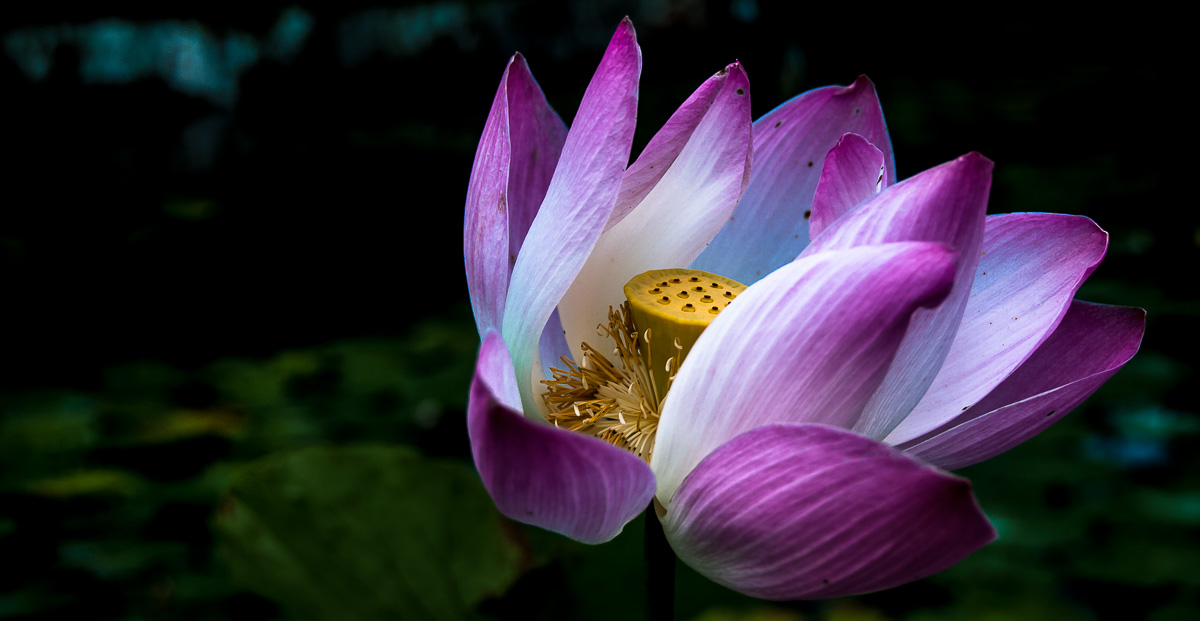 Lotus Bloom photo