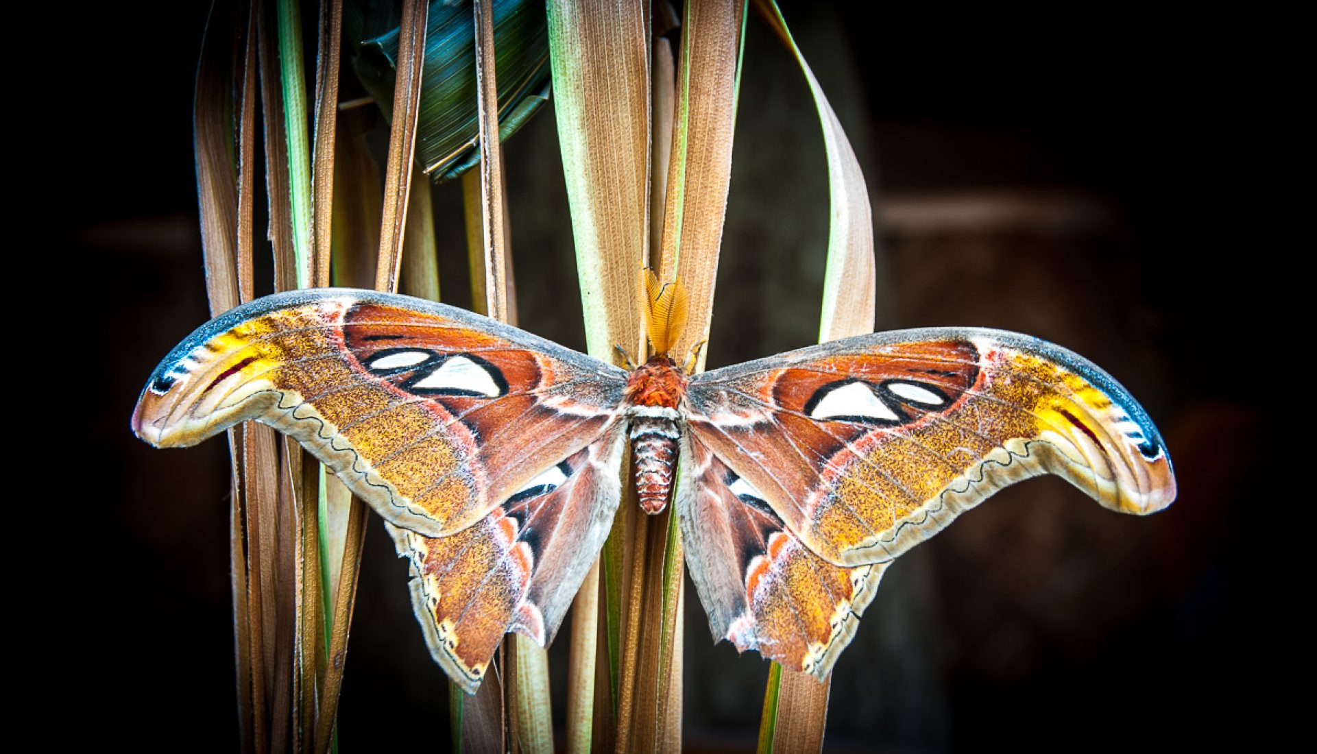 Winged Beauty of Bali