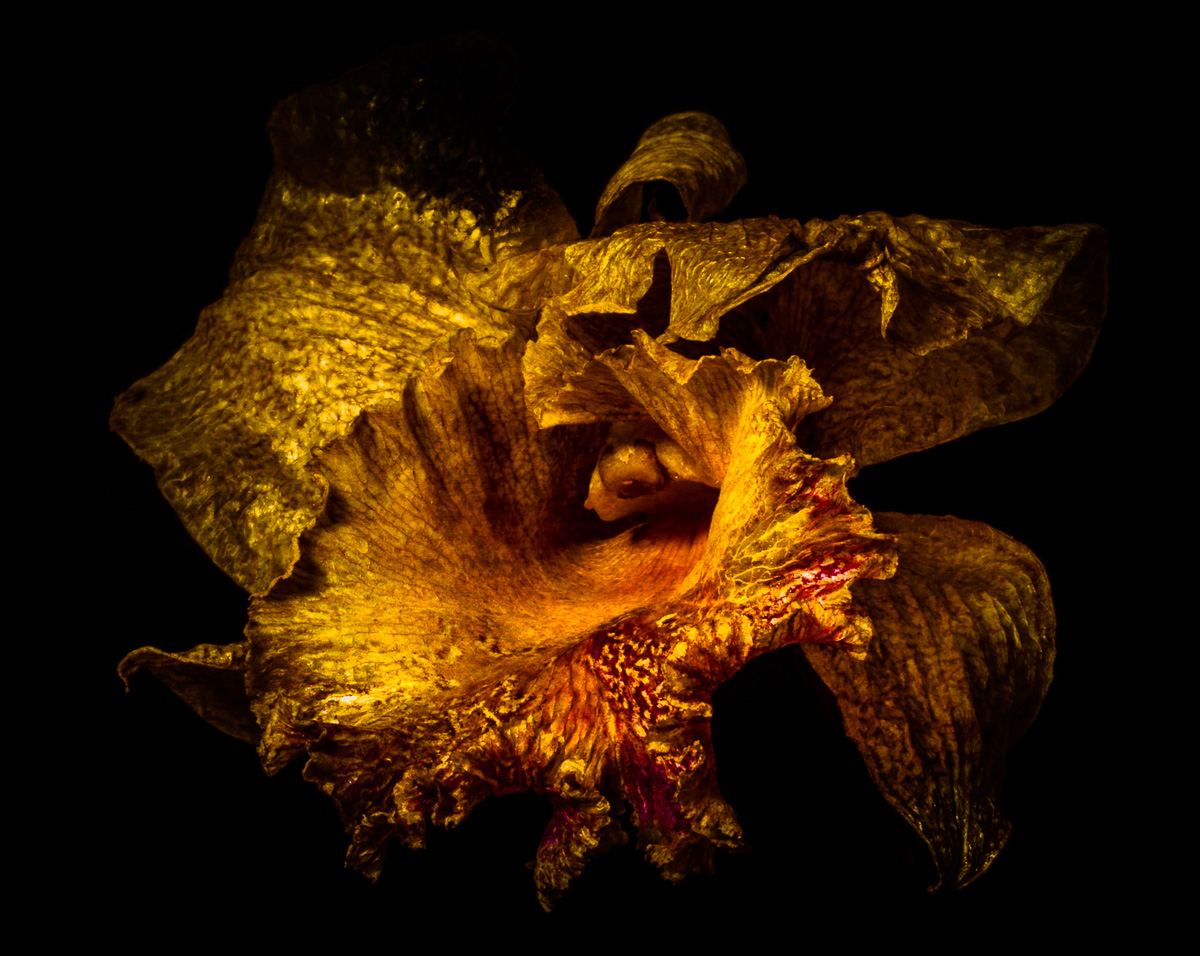 Beauty in Decay Cattelya Orchid-2