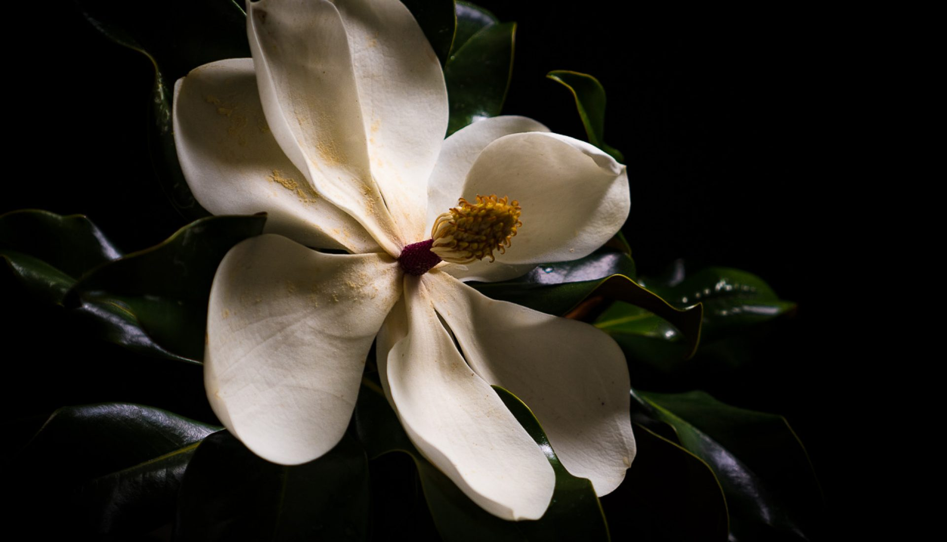 Southern Magnolia – One Bloom Three Ways