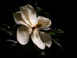 Southern Magnolia – One Bloom Three Ways