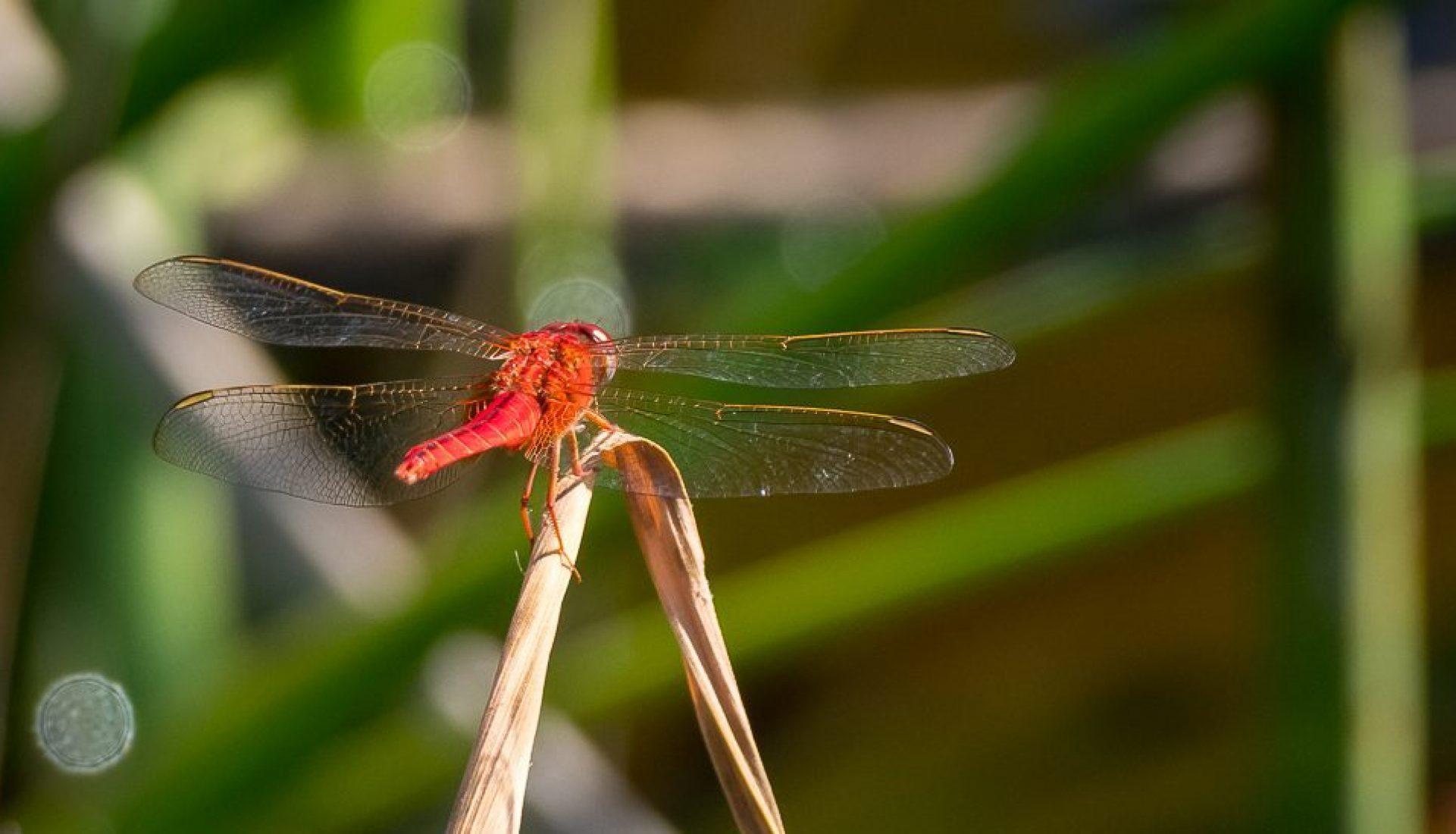 Dragonflies of Summer