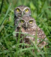 For the Birds: The Burrowing Owls of SW Florida