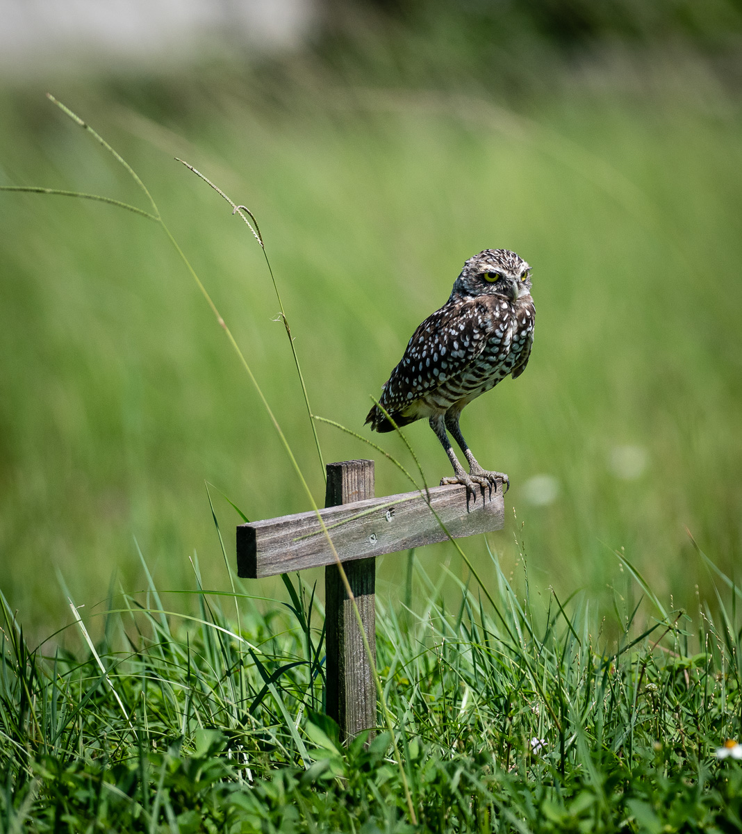Burrowing Owls SW Florida