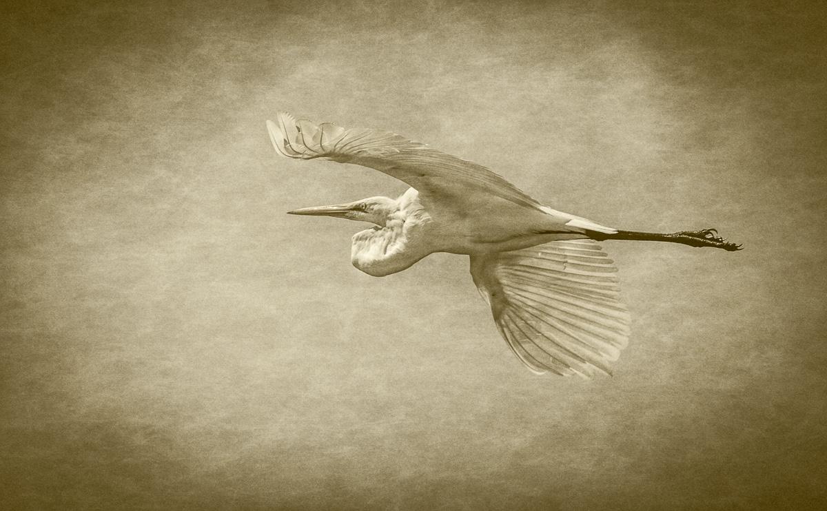 Sunday Stills: Great Egret