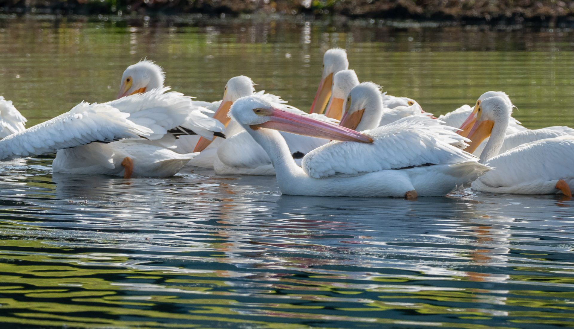 White Pelicans on the Pond