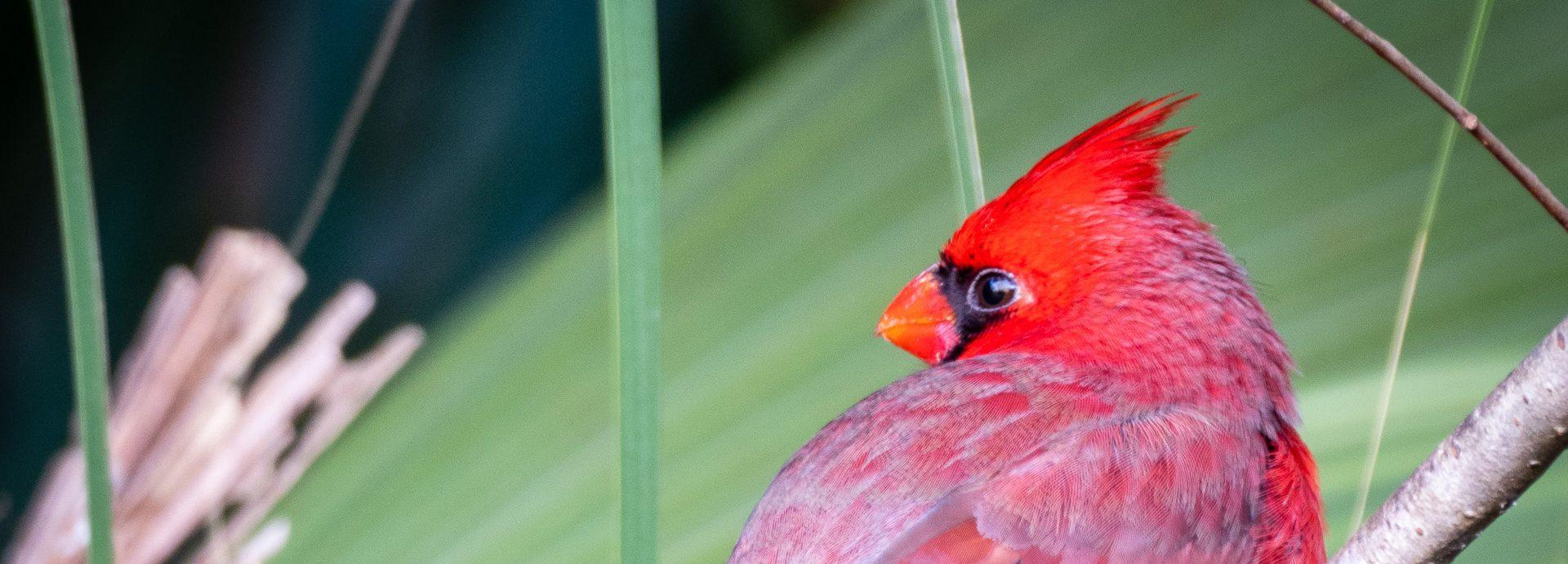 Seeing a Cardinal Always brings a smile