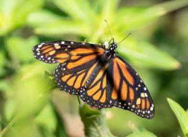 If a Butterfly Flutters It's Wings…