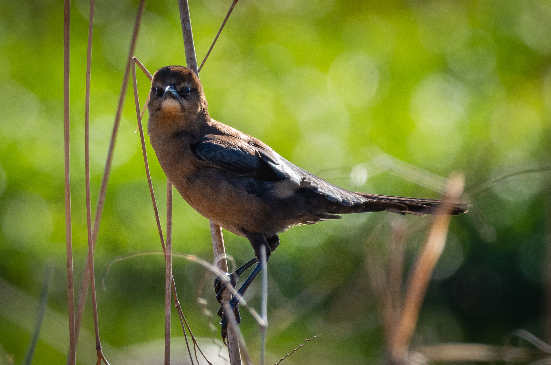 Boat Tailed Grackle, female