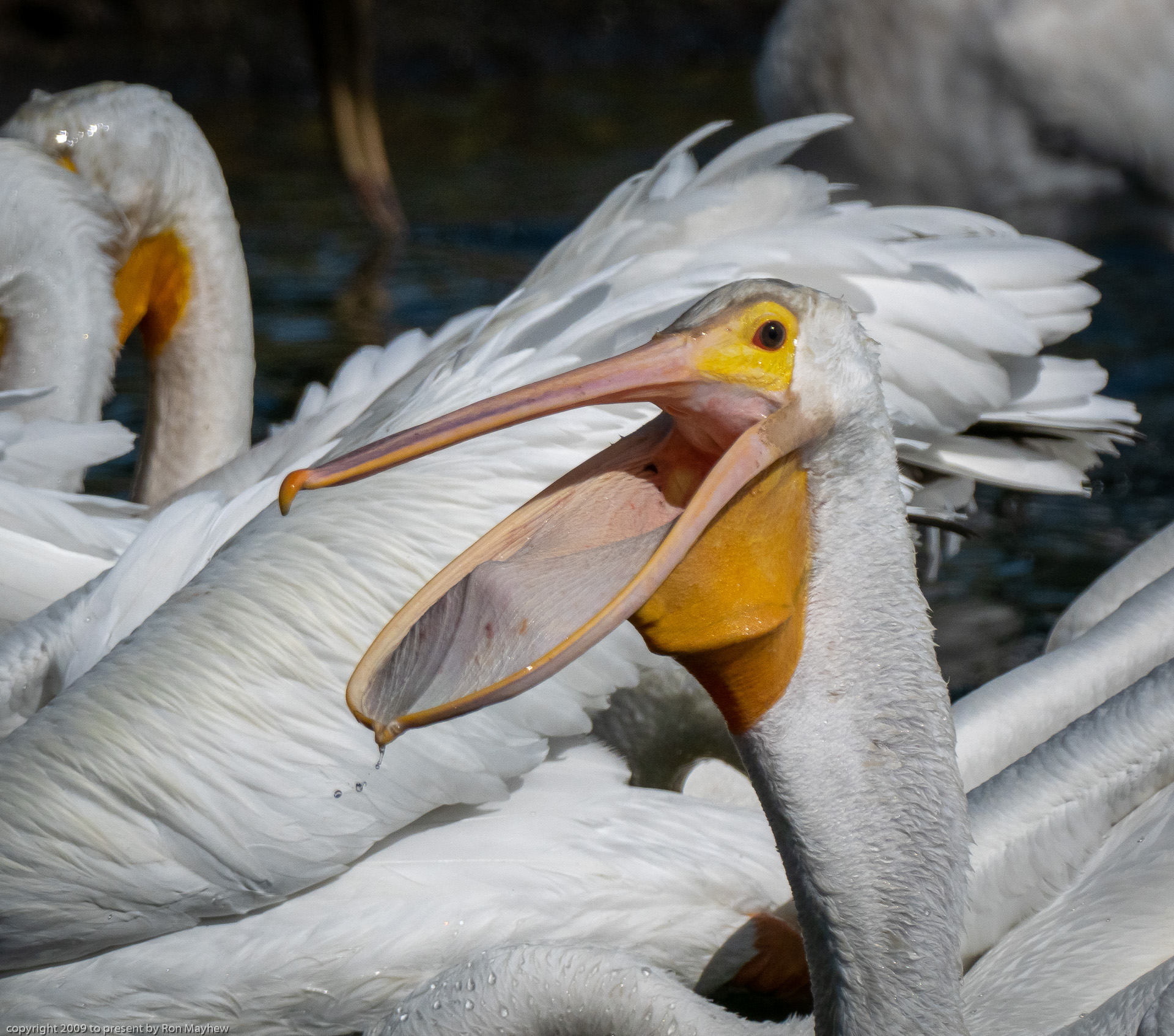 The American White Pelicans are back