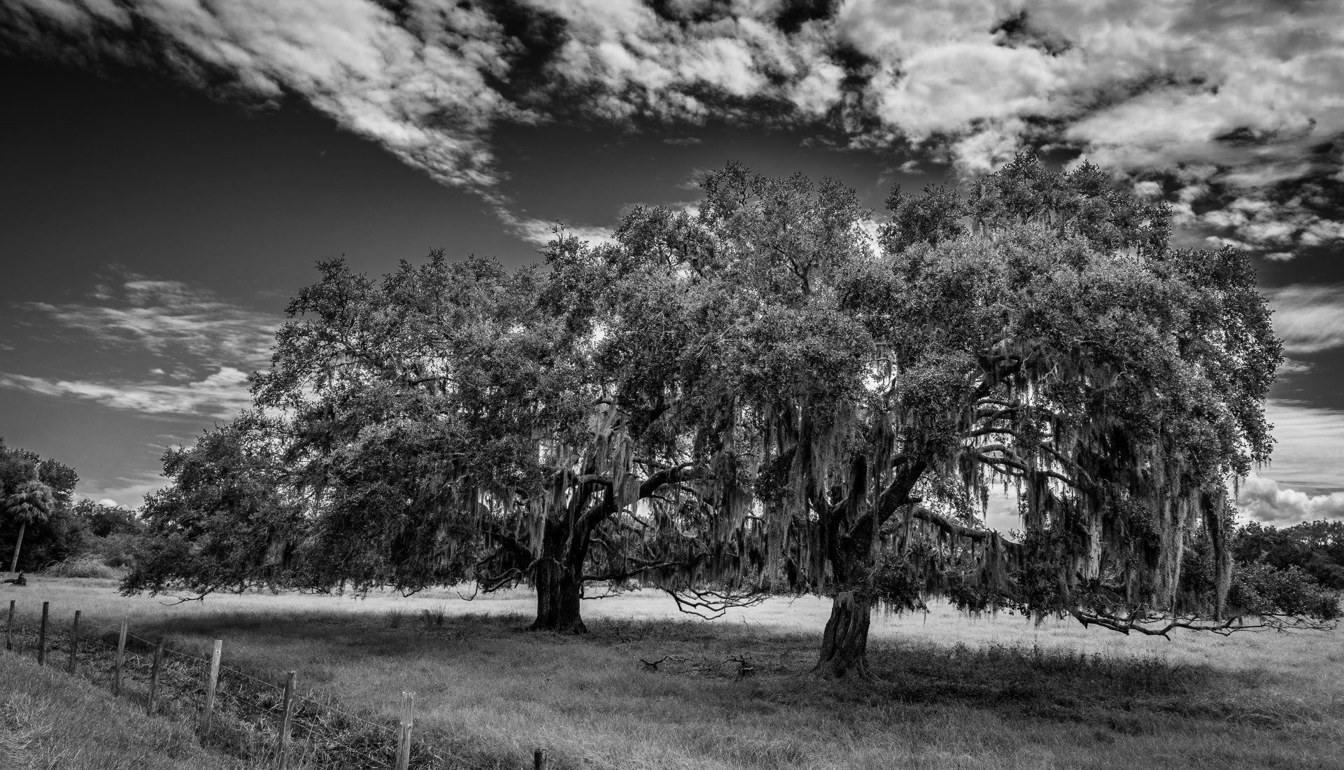 The Florida Landscape – Live Oak Trees