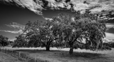 The Florida Landscape – Live Oak Trees
