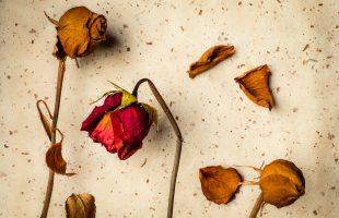 Rose Buds | Everlasting Beauty