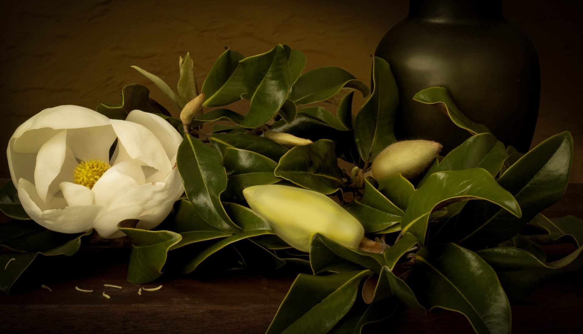 Beautiful Southern Magnolia Bloom, | a Still Life