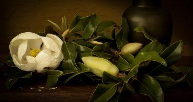 Beautiful Southern Magnolia Bloom, | a Still Life